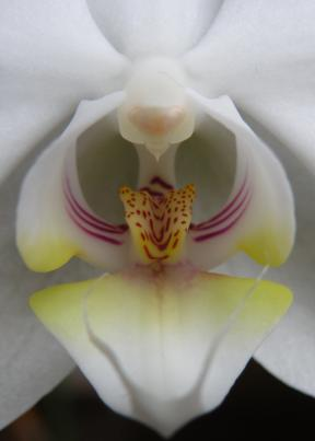 CLOSEUP_OF_THE_BLOSSOM_OF_A_PHALAENOPSIS_crop