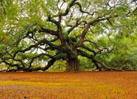 giant oak trees-around-the-world