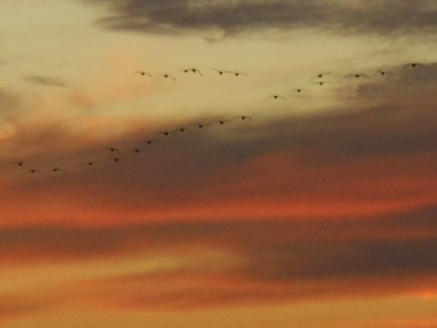 geesees