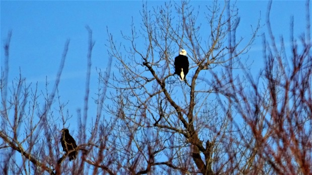 Two Eagles Spying The Platte