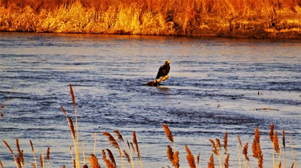 Immature Bald Eagle on the Platte