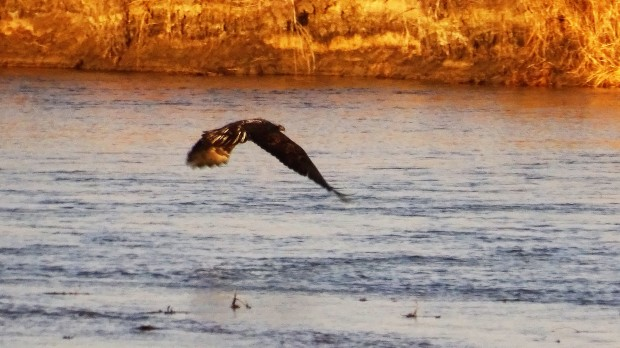 Fishing Bald Eagle