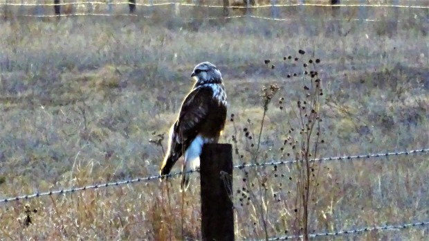 Spring hawk