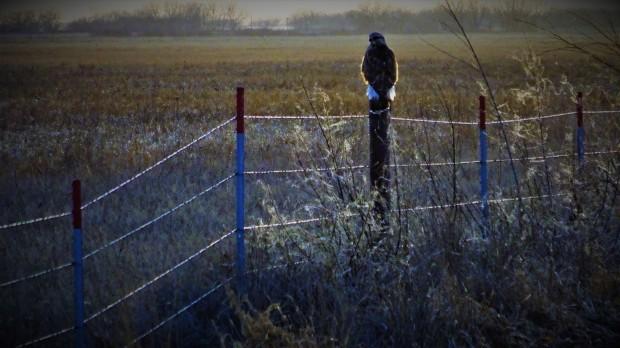 hawk near Alda, NE