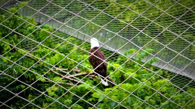 bald eagle behind bars