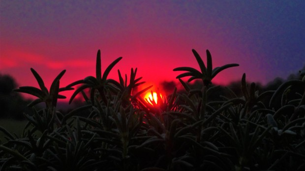 rose moss sunset
