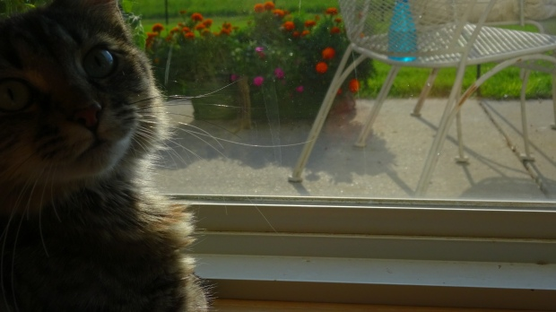 Maine Coon watching ground squirrel