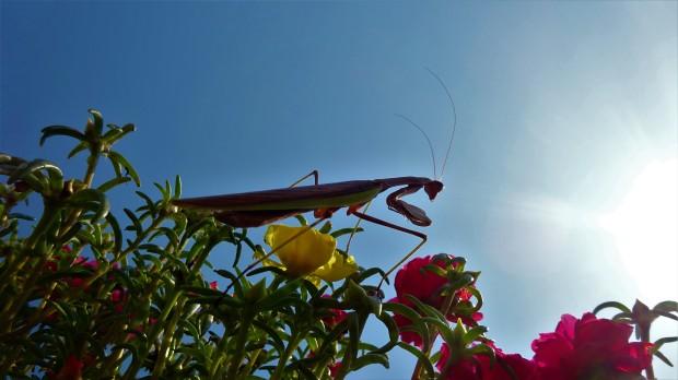 Martian Mantis heading for Mars