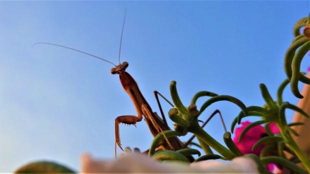 Mantis vs. Man