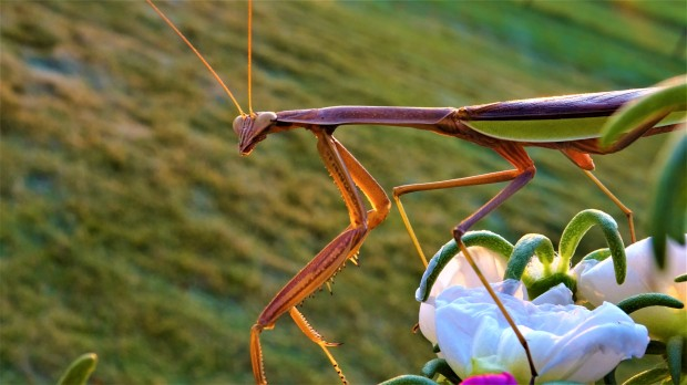 A Praying Mantis profile