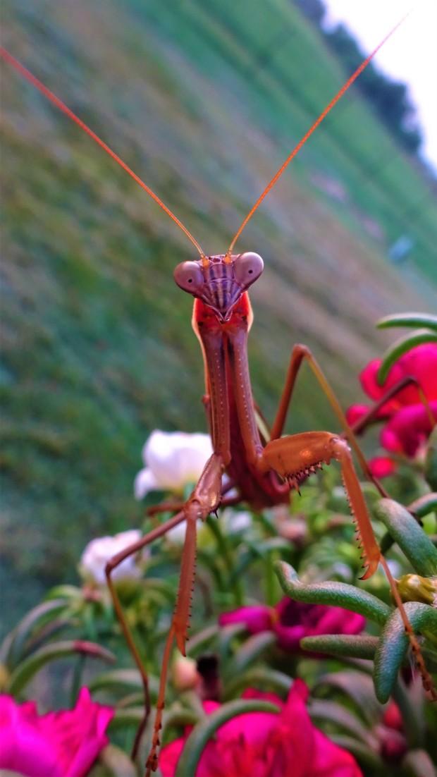 A laughing praying Mantis