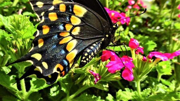 A male Black Swallowtail