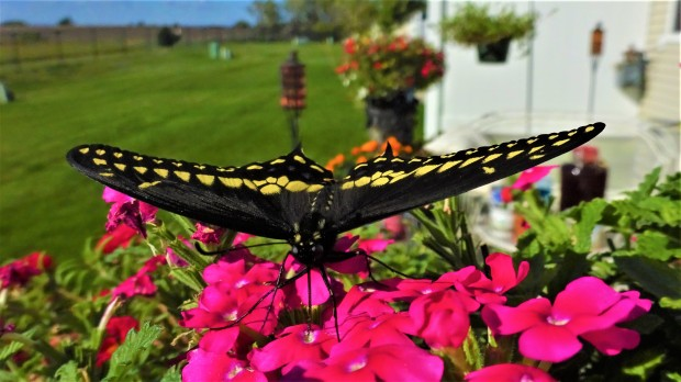 Black Swallowtail spread-eagle