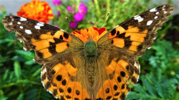 Painted Lady spread-eagle