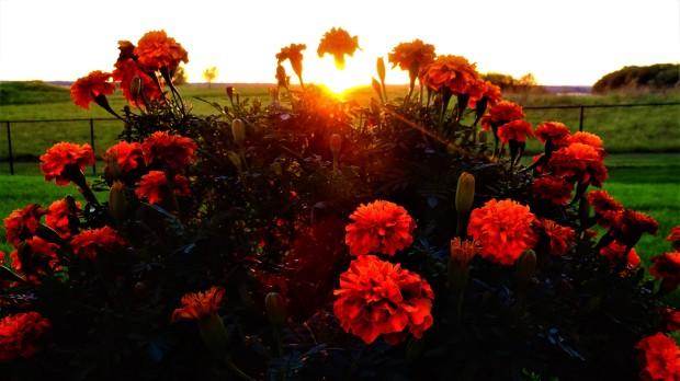 Marigold sunset
