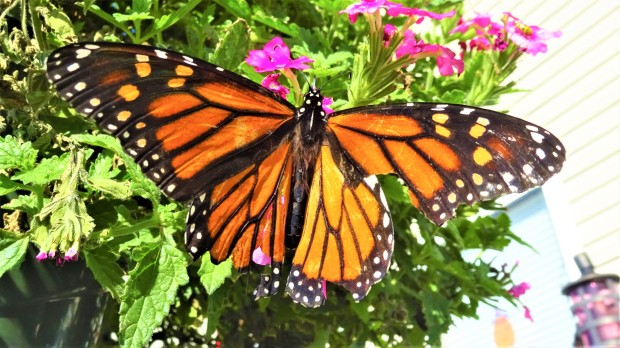 Monarch in the menagerie