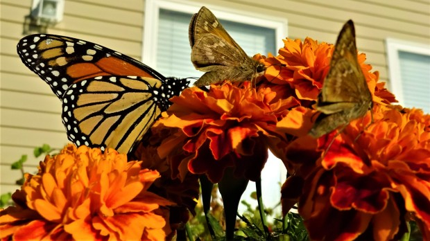 Butterfly Trinity