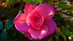 a pink rose of Fall