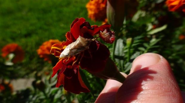 Stinkbug eating worm