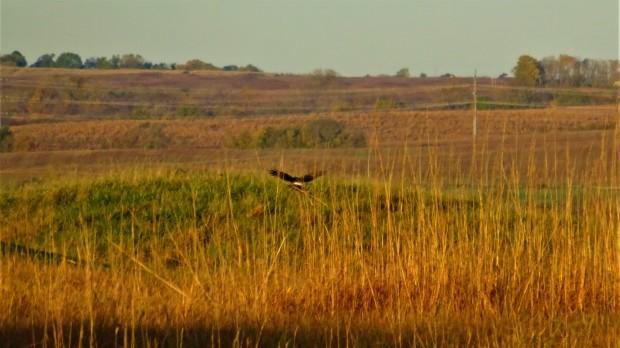 Harrier landing