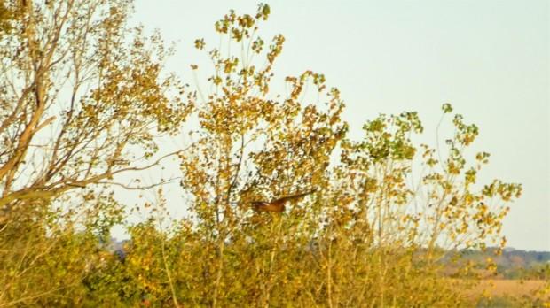 Harrier camouflage