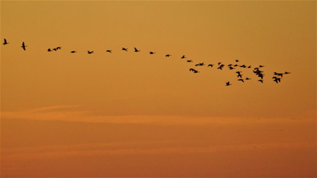 geese line-up