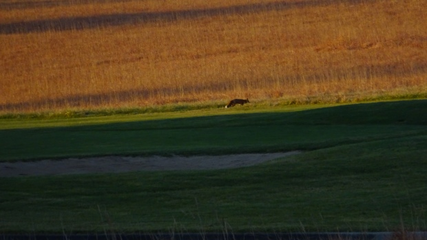 red fox on golf course
