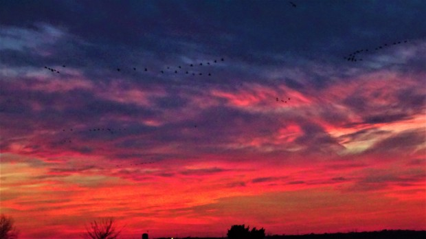 Great Plains' Geese