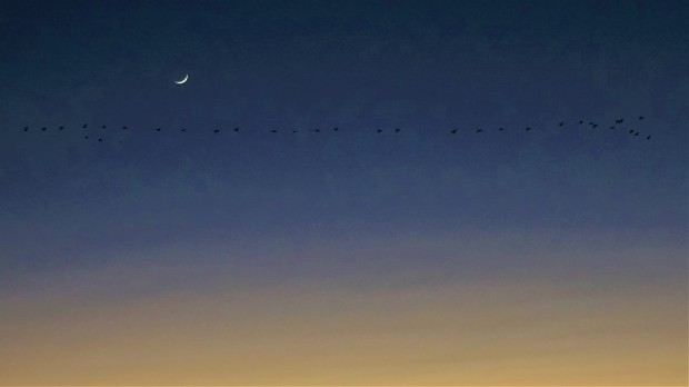 Geese under crescent moon