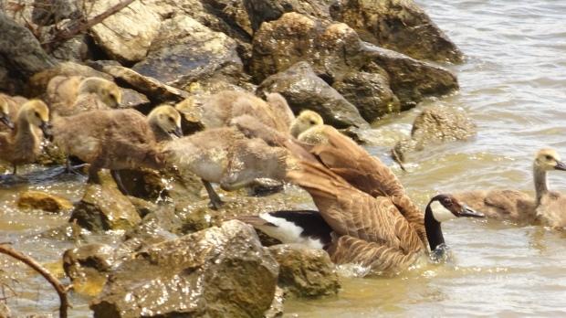 Baby Geese at Oak Lake