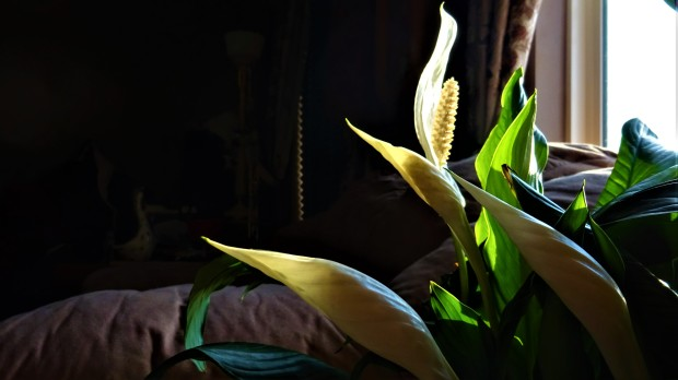 Dad's Peace Lilly