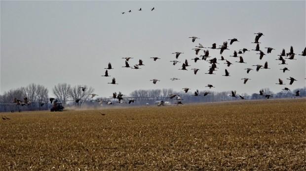 Tractor raising Cranes