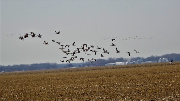 Cranes o'er corn field remnants