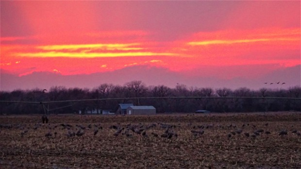 Great Plains Cranes Sunset