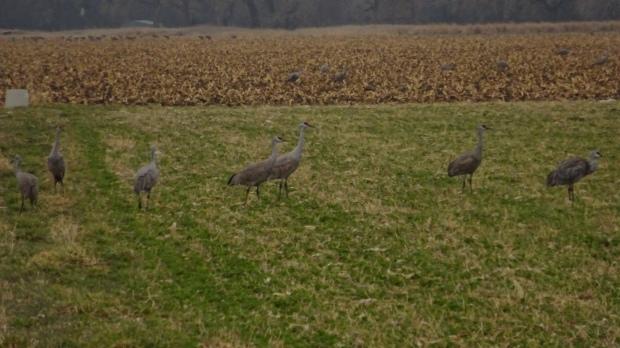 Grazing crane