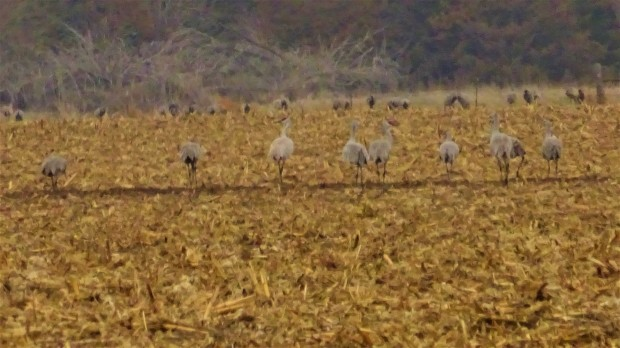 Possible Whooping Crane
