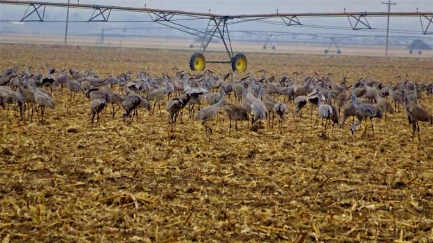Cranes last meal