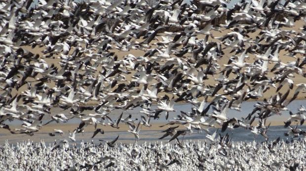 Snow Geese Blitz