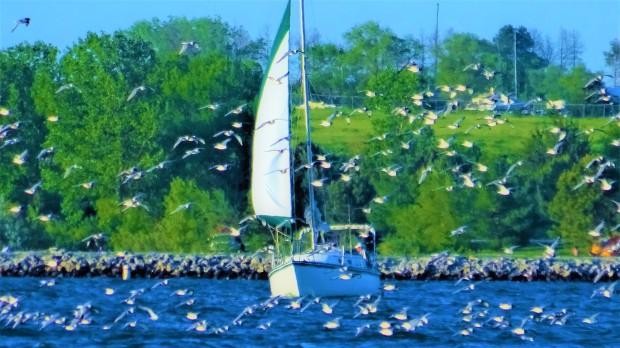Seagulls and sailboats