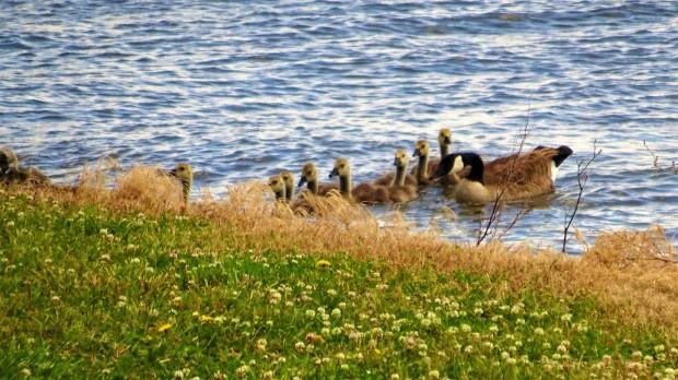 Branched Oak Lake family