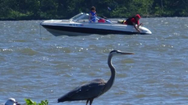Blue Heron at Branched Oak Lake