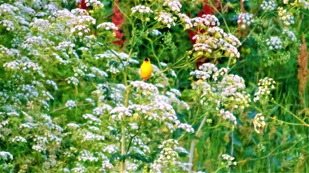Goldfinch hiding