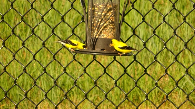 Goldfinch on our bird feeder