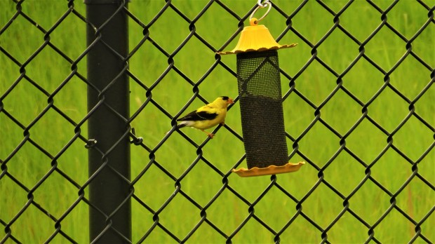 Goldfinch gossip