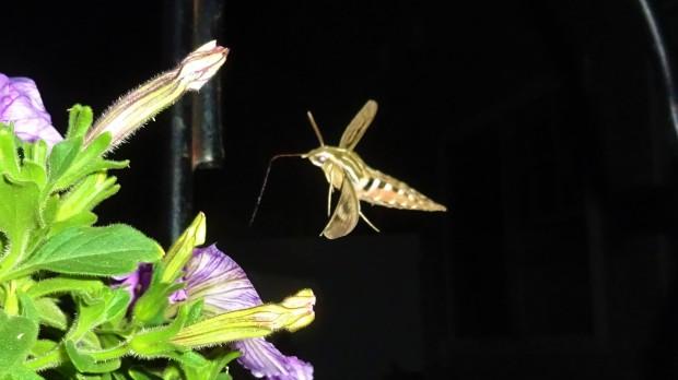 Sphinx Moth proboscis