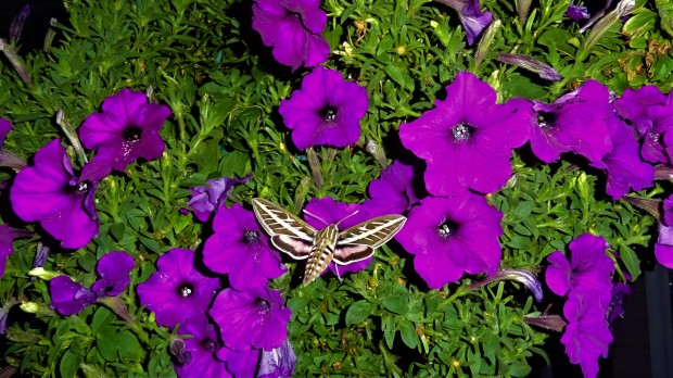 Hummingbird Moth at rest