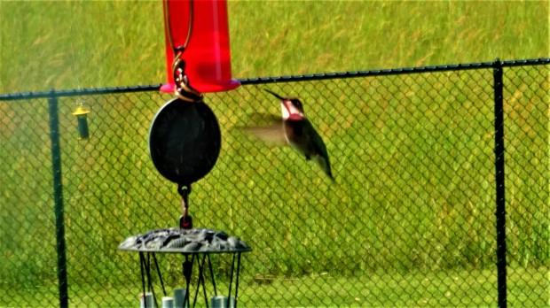 Hummingbird dribbling nectar